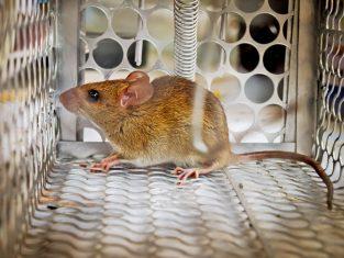 Ampuh Usir Tikus di Rumah, Berikut Cara Memasang Perangkap Tikus yang Benar
